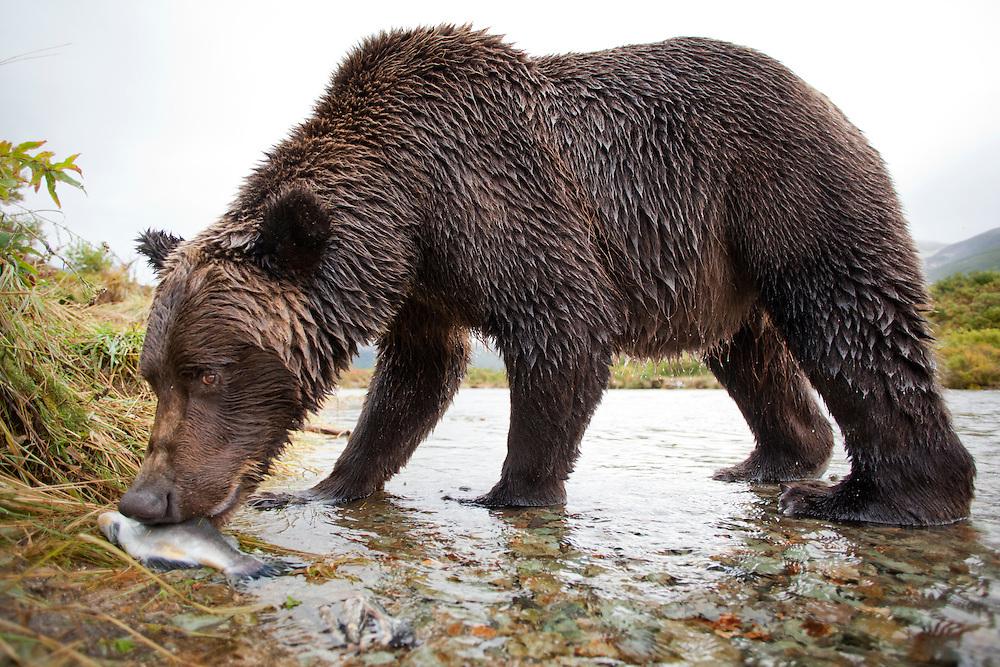 USA, Alaska, Katmai National Park, Remote camera view of Coastal Brown Bear (Ursus arctos) biting into Pink Salmon along spawning stream by Kinak Bay