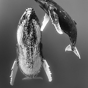 Humpback whale female at rest with male calf (Megaptera novaeangliae)