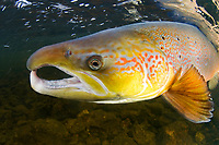 Atlantic salmon, Salmo salar, River Orkla, Norway