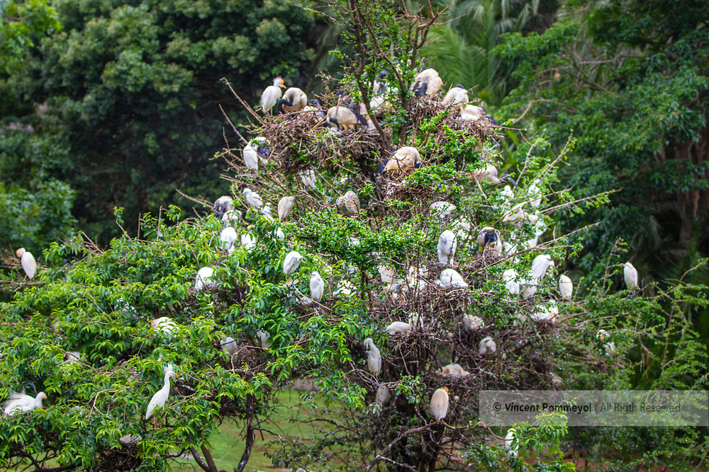 Cattle egret-Héron garde-boeufs<br /> (Bubulcus ibis) of South Africa.