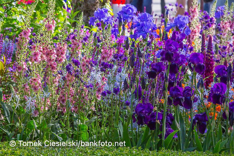 View of flowerbed with Salvia nemorosa 'Caradonna', Lupinus 'Masterpiece', Iris 'Mer du Sud', Cirsium rivulare 'Atropurpureum', Camassia leichtlinii 'Blue Heaven', Camassia leichtlinii suksdorfii 'Caerulea', Verbascum 'Merlin'