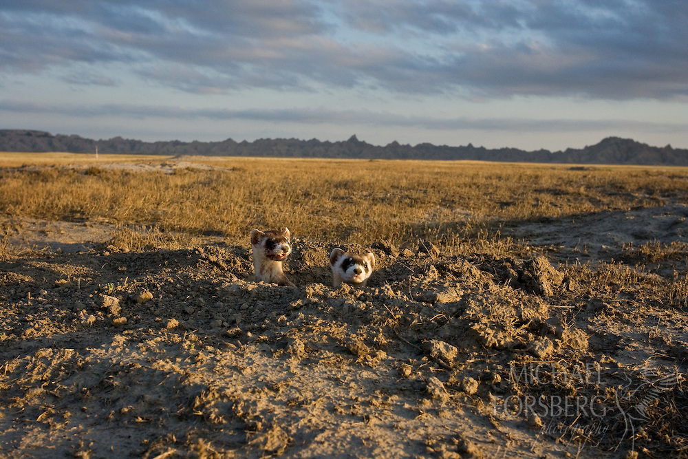 A black-footed ferret adult female and her kit emerge at burrow entrance after sunrise in prairie dog town.  Conata Basin, South Dakota.