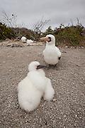 A nazca booby (Sula grunti) ground nesting while raising a chick on Genovesa Island, Galapagos Archipelago - Ecuador.