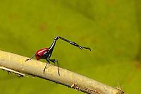 Giraffe-necked weevil (Trachelophorus giraffa) Eastern Madagascar rainforest