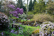 Rhododendron and Primula denticulata in the RHS Harlow Carr Garden in spring;  Harrogate, Yorkshire, UK  April