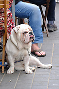 Bulldog sitting