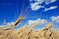 Wheat field near Sceptre, Saskatchewan