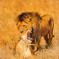 Male and female lions greeting in Ngorongoro Crate Tanzania.