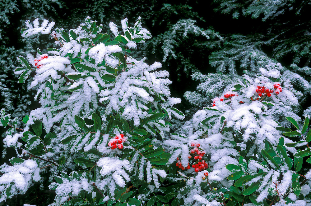Fresh powder on Sitka mountain ash berries and western hemlock, Mount Rainier National Park, Washington USA