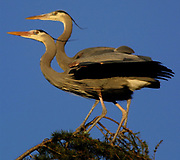 Great blue herons near Seattle's Discovery Park. (Alan Berner / The Seattle Times)