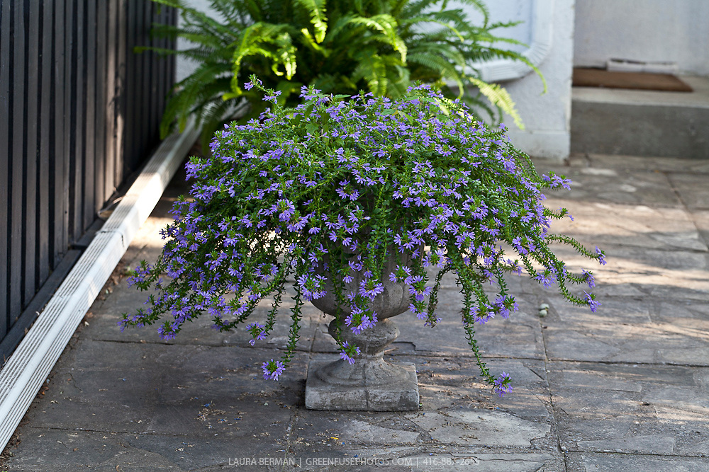 Blue Scaevola flowers in concrete urn