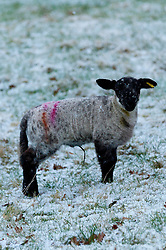 © Licensed to London News Pictures. 11/02/2017. Llanddewi'r Cwm, Powys, UK. Sheep and lambs are seen in a field at Llanddewi'r Cwm, after a light snowfall this morning.  Photo credit: Graham M. Lawrence/LNP