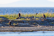 Three bald eagles (Haliaeetus leucocephalus) rest on the beach of Protection Island in Jefferson County, Washington. Protection Island, located at the mouth of Discovery Bay in the Strait of Juan de Fuca, is a 364-acre island mainly covered with grass and low brush. The island, which also has high sandy bluffs, serves as a nesting ground for 72 percent of the seabirds that nest in the Puget Sound area. Bald eagles prey on those seabirds and their young.