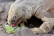 SAN CRISTOBAL, GALAPAGOS ISLANDS, ECUADOR: August 18, 2005 -- GALAPAGOS ISLANDS DAY 2  -- A Galapagos Land Iguana (Conolophus subcristatus) feeds on San Cristobal island on Day 2 in the Galapagos Islands, Ecuador August 18, 2005...Steve McKinley Photo.