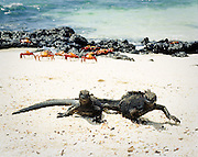 Marine Iguanas and Sally Lightfoot Crabs share the beach, Galapagos Islands