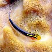 Shortstripe Goby inhabit sponges, often inside tube sponges in Bahamas and Caribbean; picture taken Dominica.