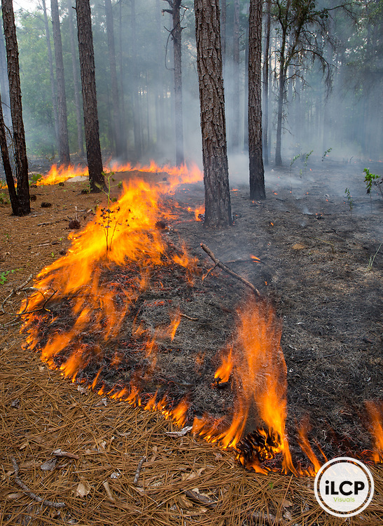 Longleaf pine forest during a prescribed fire on a TNC managed property on the Chattahoochee Fall Line in Georgia.