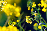 Field Mustard (Brassica Rapa) photographed near York Road off Highway 68 on March 9th.
