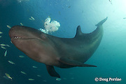 false killer whale, Pseudorca crassidens, exhales a cloud of bubbles