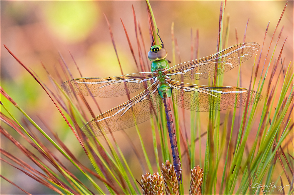Common Green Darner perched on a pine bough