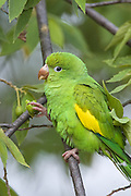 Yellow-chevroned Parakeet<br /> Brotogeris chiriri<br /> Pantanal, Brazil