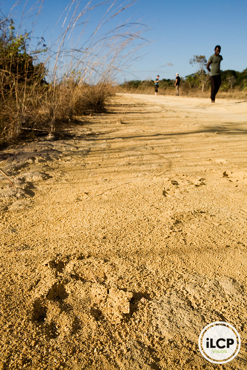 African Leopard (Panthera pardus) researchers looking at tracks on dirt road, Lope National Park, Gabon