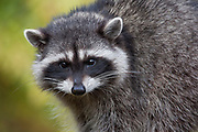 Raccoon - Lummi Island, Washington State