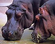 Hippos eating at Memphis Zoo