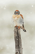 A year-round resident of the Greater Yellowstone Ecosystem, an American kestrel fluffs up its feathers in the face of a spring snowstorm.