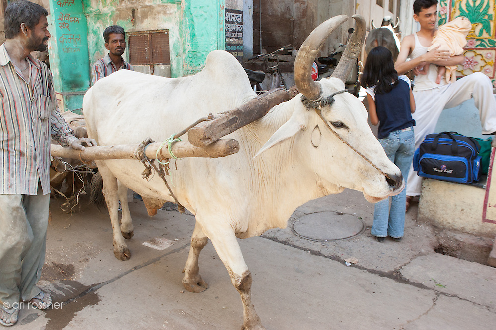 Cow towing a cart in the street