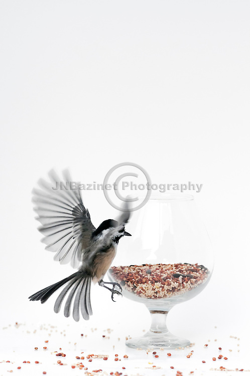 Black-capped chickadee tries to get seed in glass
