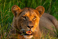 Female lion, near Kwara Camp, Okavango Delta, Botswana.