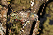 Fresh raindrops on a Kaka parrot in the forest at night, Stewart Island