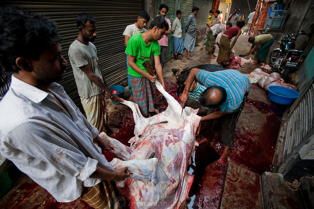 A pavement is awash in blood as families butcher a cow in preparation for the Eid al-Adha annual religious festival in Dhaka, Bangladesh. Bangladesh has the world's fourth largest Muslim population, and during the three days of Eid al-Adha, the Festival of Sacrifice, Dhaka's streets run red with the blood of thousands of butchered cattle. The feast comes at the conclusion of the Hajj, the annual Islamic pilgrimage to Mecca. In both the Koran and the Bible, God told the prophet Ibrahim (Abraham) to sacrifice his son to show supreme obedience to Allah (God). At the last moment, his son was spared and Ibrahim was allowed to sacrifice a ram instead. In Dhaka, as in the rest of the Muslim world, Eid al- Adha commemorates this tale, and the meat of the sacrificed animals is distributed to relatives, friends, and the poor.