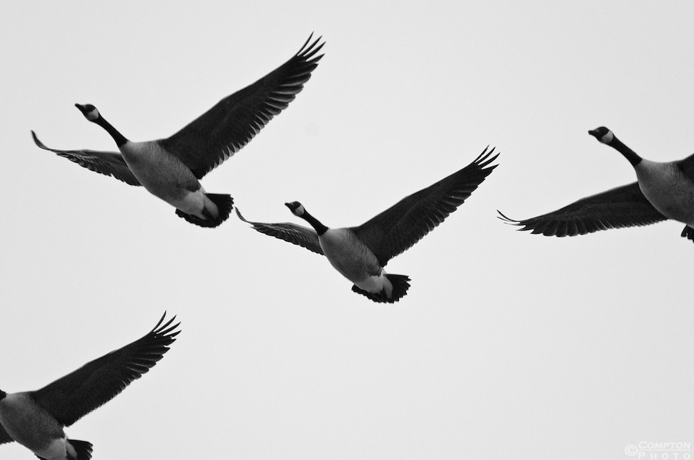 Canada Geese in flight. B&W