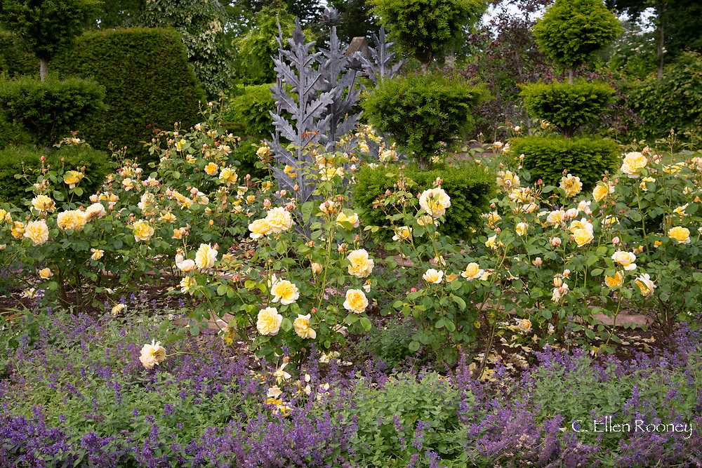Rosa 'Graham Thomas' and Nepeta around a metal sculpture in The Laskett Gardens, Much Birch, Herefordshire, UK