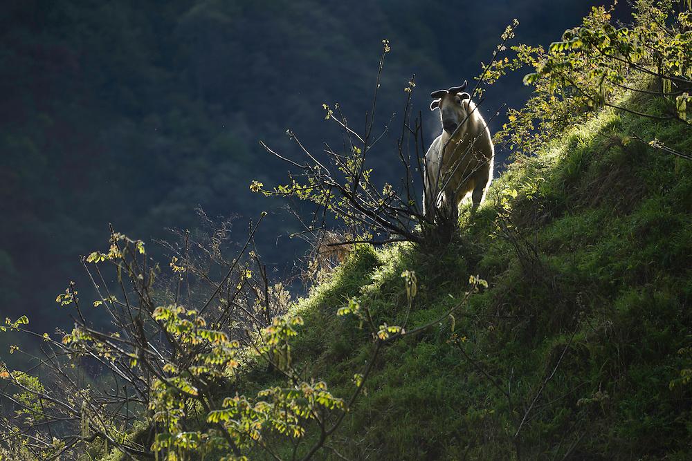 羚牛,唐家河自然保护区,四川,中国。Takin, Tangjiahe Nature Reserve, Sichuan, China.