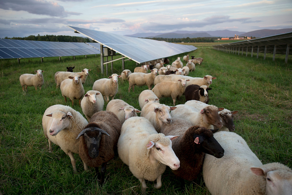 A flock of 50 Dorset Tunis sheep are led by farmer Anna Hurlburt through the solar array at Open View Farm in New Haven, Vt., on Aug. 19, 2017. Hurlburt and her husband, Ben Freund, rotationally graze the sheep under the solar array owned by Cross Pollination Inc., which intentionally had the facility designed to allow for livestock grazing. (Photo by Geoff Hansen)