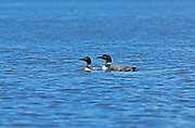 Two Great northern or common loons Gavia immer on the English River. Ear Falls, Ontario. Canada<br /> Ear Falls<br /> Ontario<br /> Canada