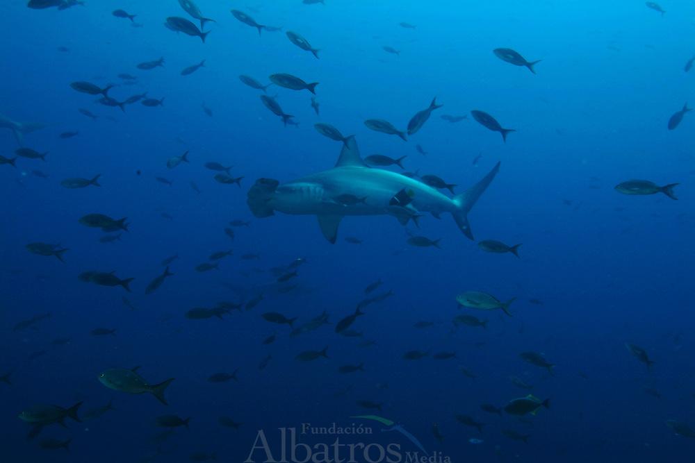 Las islas Galápagos son conocidas por sus numerosas especies endémicas y por los estudios de Charles Darwin que le llevaron a establecer su teoría de la evolución por la selección natural. ©Alejandro Balaguer/ Fundacion Albatros Media