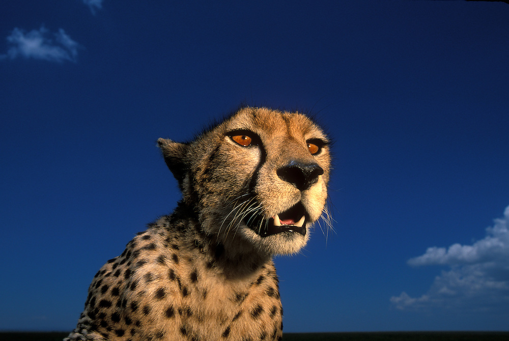 Africa, Kenya, Masai Mara Game Reserve, Flash-lit portrait of Adult Female Cheetah (Acinonyx jubatas) resting on savanna