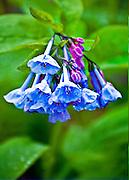 Virginia bell flower Memphis Botanical Garden in the spring.