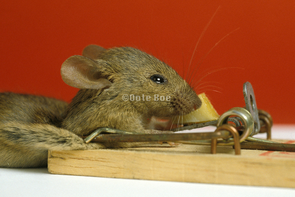 mouse in mousetrap