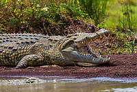 Nile crocodile, Lake Chamo, Nechisar National Park, Arba Minch, Ethiopia. Lake Chamo is one of the two largest Rift Valley lakes.