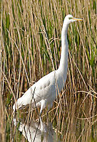 Great Egret stands in a pond watching for minnows to swim by.