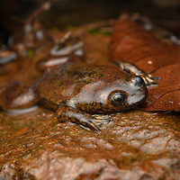 One of Borneo's most elusive and enigmatic amphibians: the Bornean Lungless Frog (Barbourula kalimantanensis). Looking like the prize-winning stone from a rock-skipping competition, albeit with four webbed feet, this frog's bizarre appearance is an adaptation for its aquatic life in fast-flowing rocky streams. Despite numerous expeditions to the region, less than twenty specimens have ever been found by biologists, making it one of the least known of all frogs. It is also the only frog in the world to be completely lungless, and is believed to absorb oxygen directly through its skin like the similarly-adapted lungless salamanders.