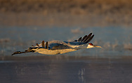 Sandhill crane flying over partially frozen wetlands in the first rays of sunlight, along the Rio Grande flood zone, New Mexico. © 2013 David A. Ponton