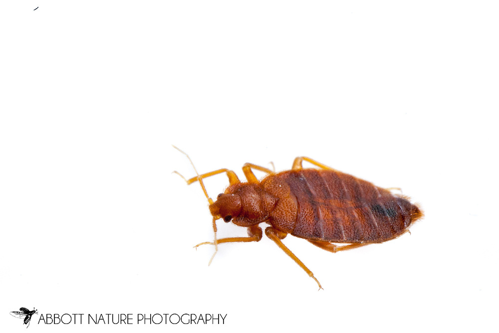 Bed Bug (Cimex lectularius)<br /> TEXAS: Travis Co.<br /> Austin<br /> 11.Oct.2011 N30.26715 W97.74306<br /> J.C. Abbott