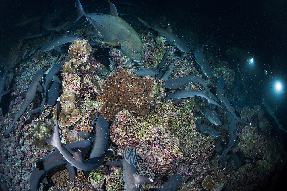 While most reef fish are asleep, Whitetip Reef Sharks and Black Jacks search frantically for a meal, kicking up debris and sand in their frenzy.  A diver looks on, trying to capture the predatory moment.<br /> <br /> <br /> Shot at Cocos Island, Costa Rica