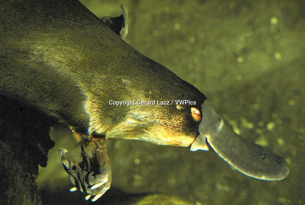 PLATYPUS ornithorhynchus anatinus, CLOSE-UP OF HEAD SHOWING BEACK, AUSTRALIA